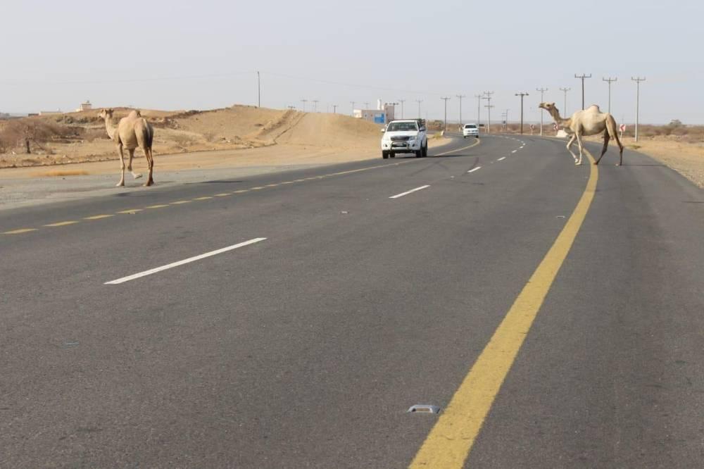 إبل سائبة تقطع الطريق وتوقف حركة المركبات. (تصوير: محمد الحسين)