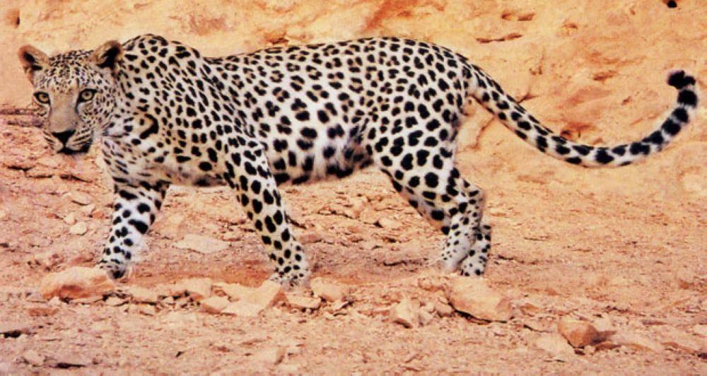 شراكة بين هيئة العلا وPanthera للحفاظ على النمر العربي ...