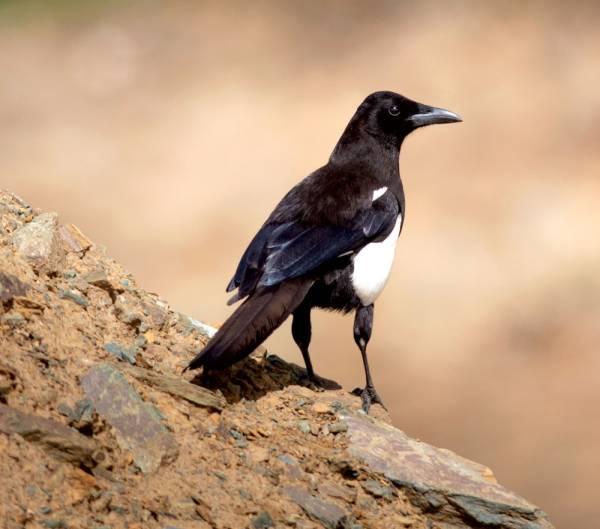 519 نوعا من الطيور في المملكة أندرها العقعق العسيري جريدة الوطن