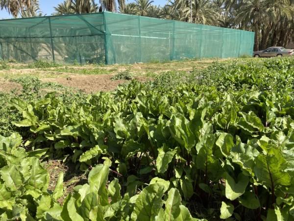 مزرعة المواطنون الذين يستخدمونها للزراعة العضوية بنجران