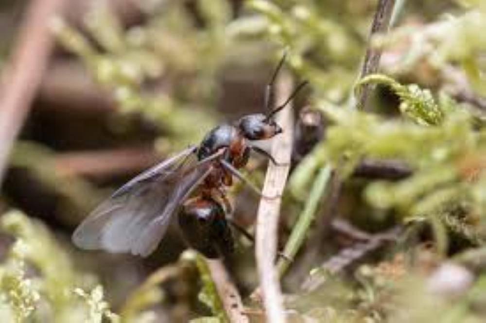 النمل الطائر-1