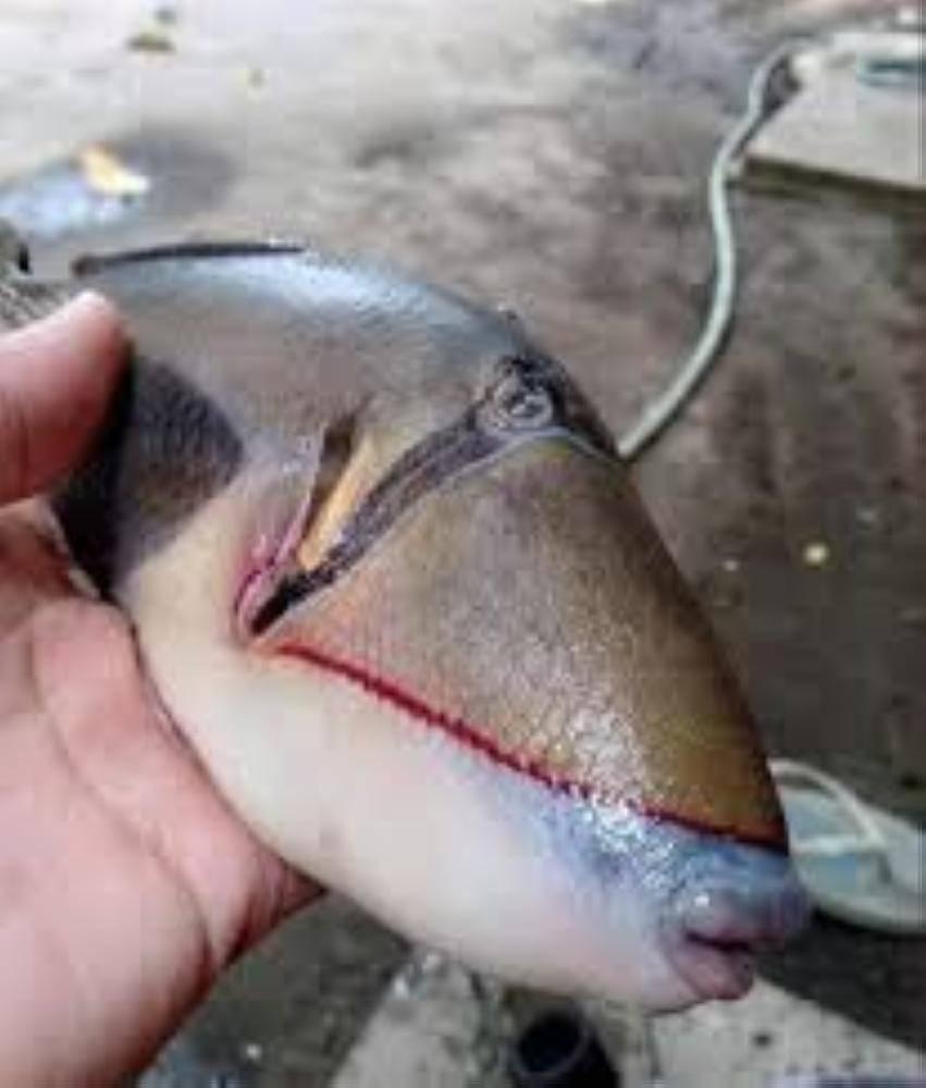 سمكة بأسنان إنسان2
