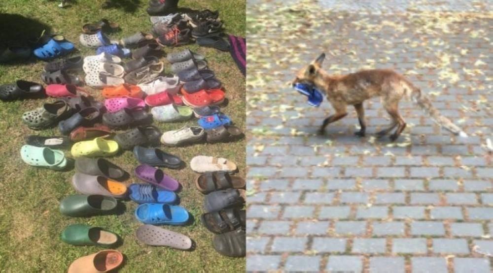 ثعلب يسرق أحذية2
