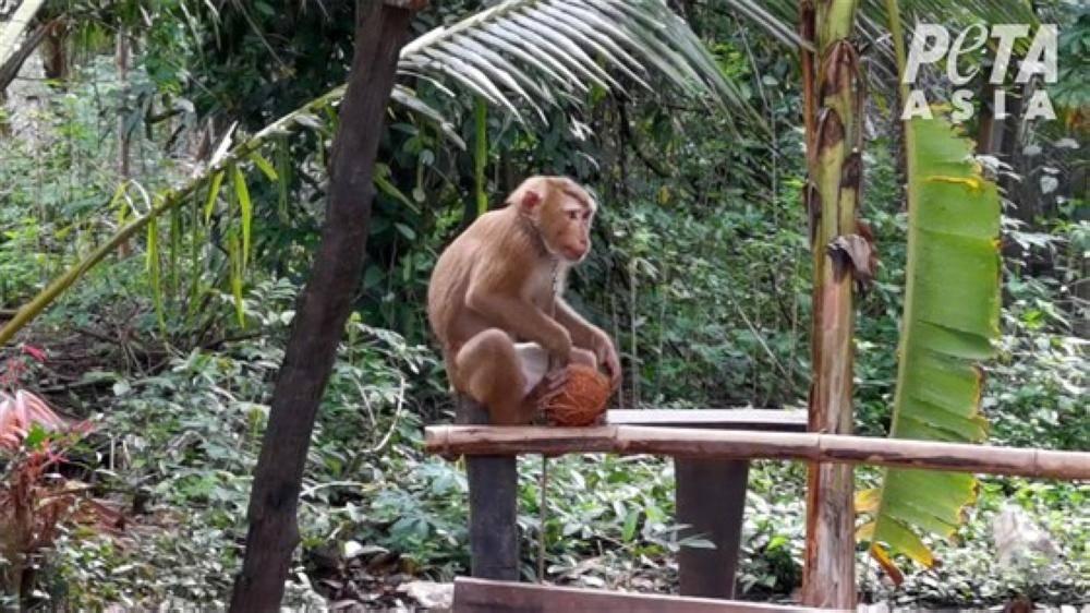 محلات تمتنع عن شراء حليب جوز الهند من شركات تجبر القرود على العمل
