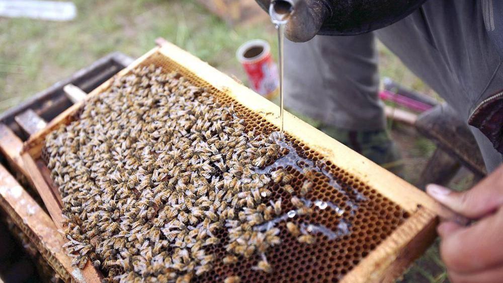 علماء يعلمون النحل شم كوفيد