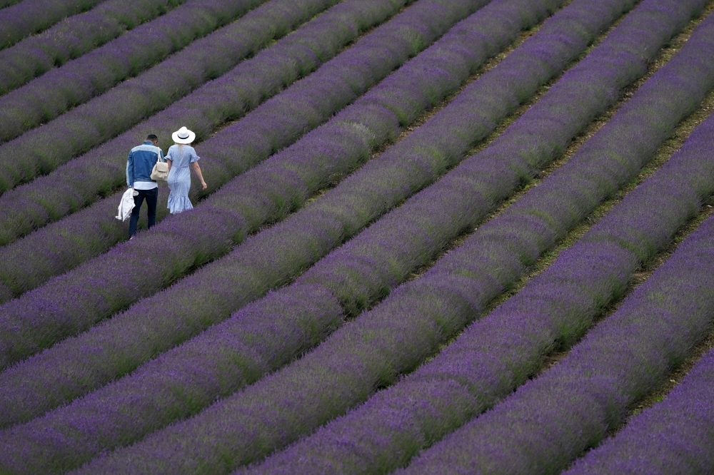 13 July 2021, United Kingdom, Chichester: People walk through rows of lavender during the open week which runs until 18 July 2021 at Lordington Lavender. Photo: Andrew Matthews/PA Wire/dpa