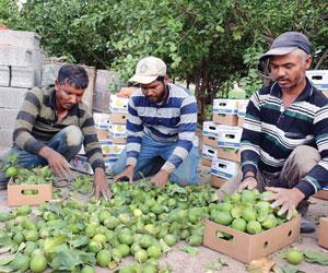 27 مليون ريال مبيعات الليمون في نجران