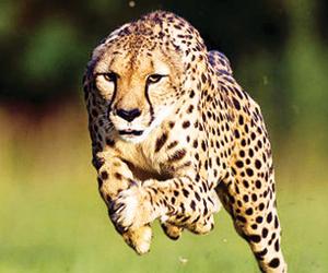 الطاقة وراء سرعة الحيوانات متوسطة الحجم