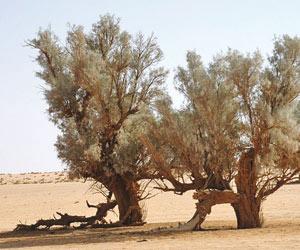 حائل شجرة الأثل تحتفظ بقيمتها الطبية جريدة الوطن السعودية